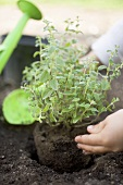 Child's hands planting herbs in soil