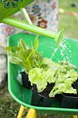 Watering lettuce plants in wheelbarrow