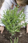 Child planting rosemary in soil