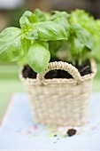 Basil plants in basket