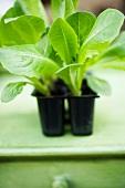 Lettuce plants in plastic modules