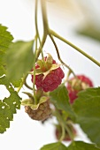 Raspberries on the cane (close-up)