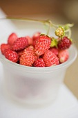 Wild strawberries in plastic tub