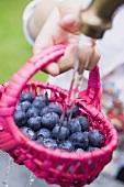 Washing blueberries in basket