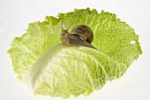 Schnecke auf Salatblatt