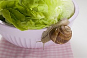 Live snail on lettuce in bowl