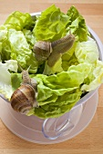 Live snails on lettuce in bowl, salad servers