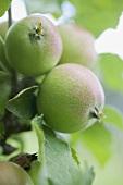 Unripe apples on the tree