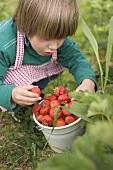 Child with bucket full of strawberries in garden