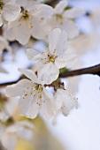 Cherry blossom on branch