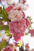 Japanese flowering cherry (in blossom)