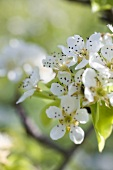 Pear blossom on branch