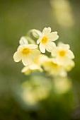 Yellow primulas