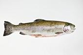 Salmon trout