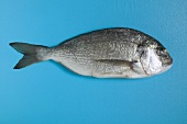 Gilthead bream on blue background