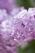 Lavender flowers (close-up)
