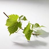 Green vine leaves on twig