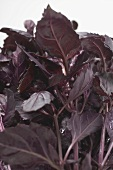 Red shiso (detail)