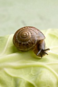 Snail on white cabbage leaf (close-up)