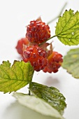 Raspberries on stalk with leaves