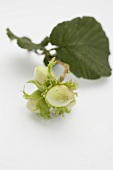 Unripe hazelnuts with twig and leaf