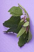 Mizuna (Salad leaf from Japan)