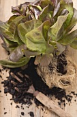 Red lettuce plant with roots and soil on wooden background