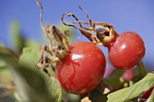Two rose hips on bush (close-up)