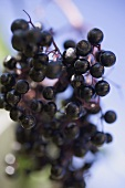 A cluster of elderberries
