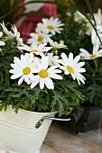 Marguerites in white bucket