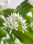 Ramsons (wild garlic) flower