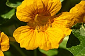 Yellow nasturtium flowers in a garden