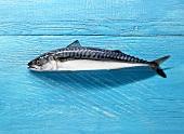 Makrele auf blau gestrichenem Holzuntergrund