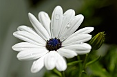 Marguerite with dewdrops in the open air