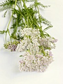 Fresh yarrow with flowers