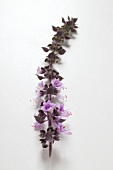 Basil flower spike with purple flowers