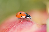 Ladybird on apple (close-up)