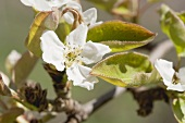 Pear blossom on the tree