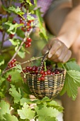 Hand holding a basket of freshly picked redcurrants