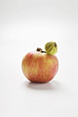 Fresh and wizened apple on stalk