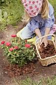 Little girl spreading bark mulch around rose bush