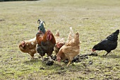 Hens in a pasture