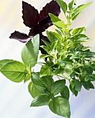 Greek bush basil, lemon basil, red basil