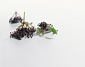 Clusters of elderberries with leaves