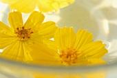 Gelbe Margeriten Blüten, schwimmend auf Wasser