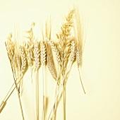 Verschiedene Getreideähren (Weizen, Hafer, Roggen)