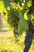 Merlot grapes, Villa Pillo Estate, Tuscany, Italy