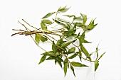 Praew leaves (Vietnamese coriander)