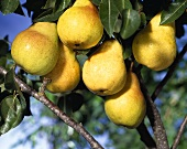 Bunch of Pears in Tree
