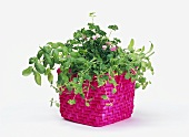 Fresh herbs in pink basket